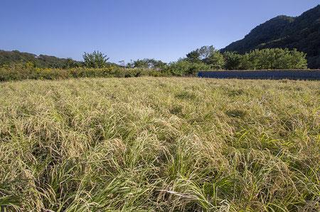 まだ収穫されていない山田錦を発見! 稲刈りもだいぶ進んでおり、間もなくこの圃場も収穫される予定。