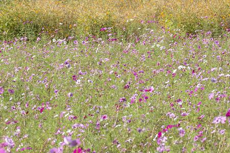 秋はカラフルな大島。黄金色の田んぼも良いし、やさしい色の花も良い。