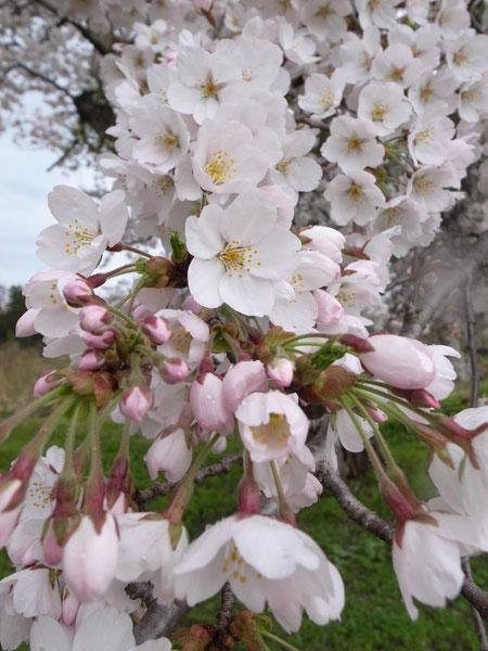 下真砂:雨の日の桜も写真にはイイーです 本数は少なくても手に取る程接写が出来ます