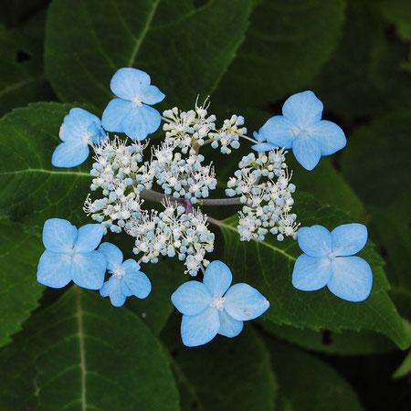 エゾアジサイ北海道のアジサイ アジサイは青い花がかたまって咲く意味 (集あづ真サ藍アイ) 紫陽花は誤用だぁ?