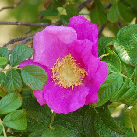 ハマナス 浜の梨が訛ってハマナス この花は雅子妃殿下の花押でもあります 実はローズヒップとして食用に まれに白花が有ります 撮影地柿崎海岸
