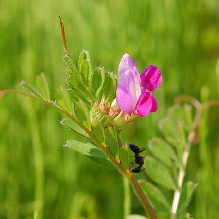 カラスノエンドウ 5月から9月ごろまで見られる アリさんが蜜を求めてやってきた