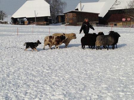 Rilla bei den Schafen
