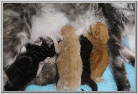 Maine Coon Kitten in tabby