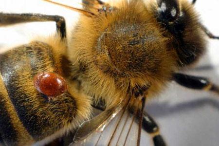 Biene mit Varroa