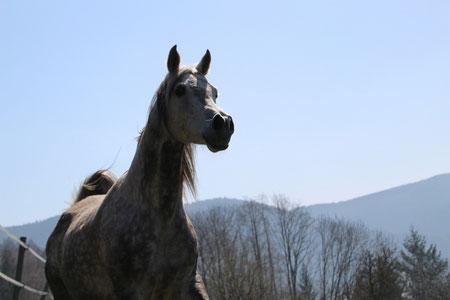*2006 gray Arabian gelding