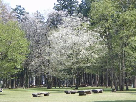 4月中旬に咲くやまざくら