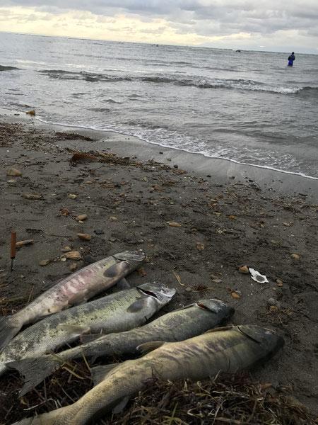 スタッフブログ 理学療法士の一年 写真4「鮭釣りの成果」