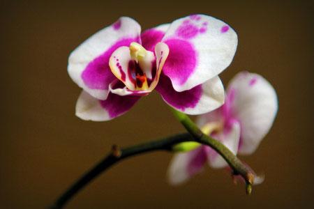Une orchidée que nous a offert ma Maman pour notre mariage cet été... 4 mois plus tard, elle est toujours en fleur !