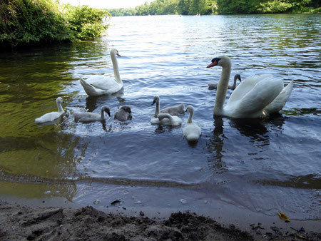 Juni 2015, Höckerschwanfamilie am Wambachsee, dort, wo die FWF-Jugend jeden Mittwoch trainiert.