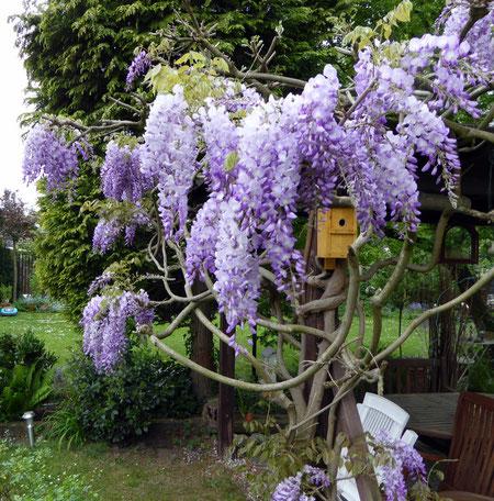 Glyzinienblüte im Garten