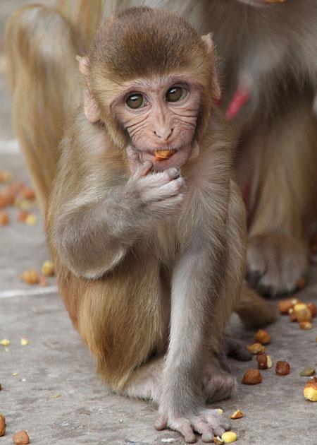 Affentempel in Indien