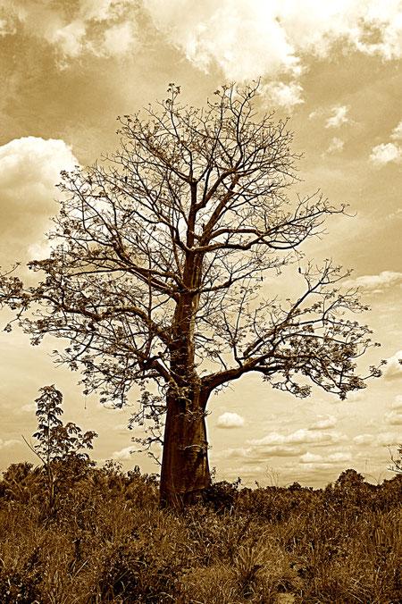 Baum in Togo
