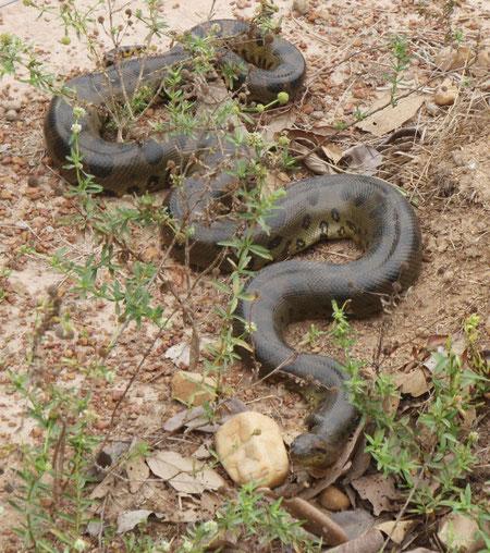 Anacondar
