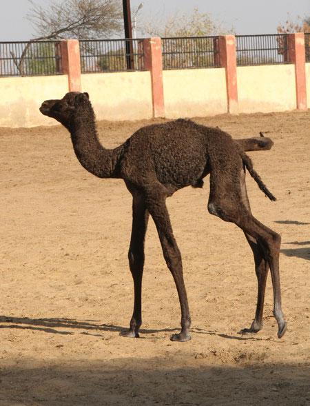 kleines Kamel bei den ersten Schritten