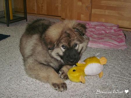 Teddy Eurasier Eurasier vom Bärenstern