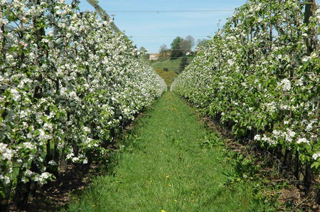 Pommiers en fleurs : verger de la variété Ariane (F. Bergougnoux)