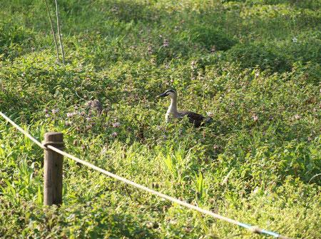 ●オドリコソウが咲いているところにカモが2羽いました。片方は何かを食べるのに夢中で埋もれています