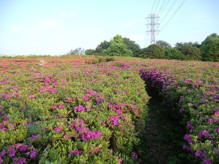 小金井公園に入るとつつじがきれいに咲いていた。小道を歩いて入っていくこともできる