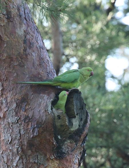 ●ワカケホンセイインコの親子。とてもいい場所に巣を作ったようです。