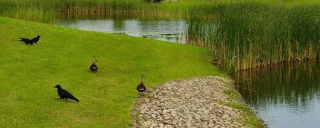 ▲水辺で遊ぶ鴨とカラス