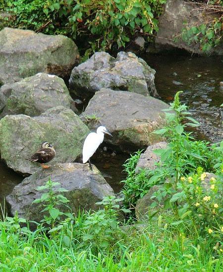 8月24日(2013) 野川で涼をとる鳥が2羽(コサギとカモ)