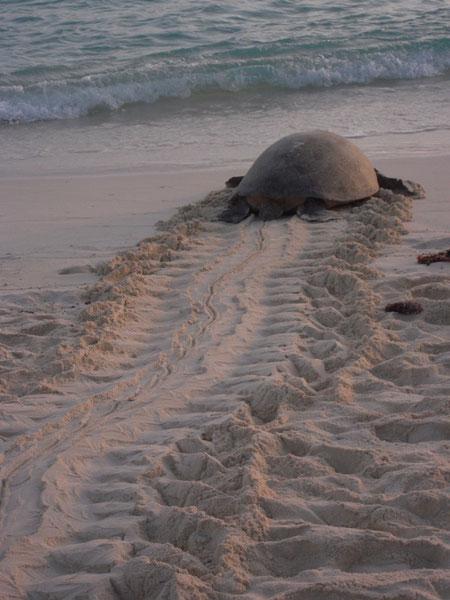 産卵を終えて海へ帰るウミガメ