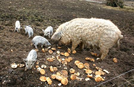 Mangalica Schweine (Wollschweine)