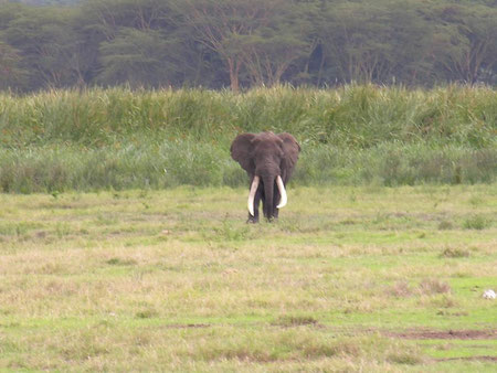 Big elephant, Ngorongoro Crater