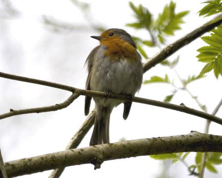 Rotkehlchen zählen zu den häufigsten Brutvögeln des Twedter Feld und sind manchmal aus geringer Entfernung zu beobachten
