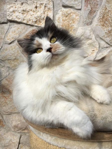 gatto siberiano red tabby point, gatti siberiani, allevamento, gatti, cuccioli, siberiani, siberiano, gattini, allergia, feld1, ipoallergenici, allevamento, cuccioli, pet, animali da compagnia,