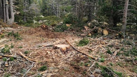 Pla obert on es veuen arbres talats en un bosc de Ger de Cerdanya. Imatge facilitada per l'Associació de Naturalistes de Girona