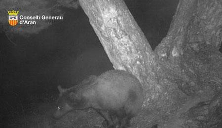 L'óssa, fotografiada a la zona uns dies abans