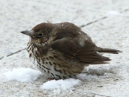 Singdrossel trotzt dem Winterwetter - Foto: Alfred Müller