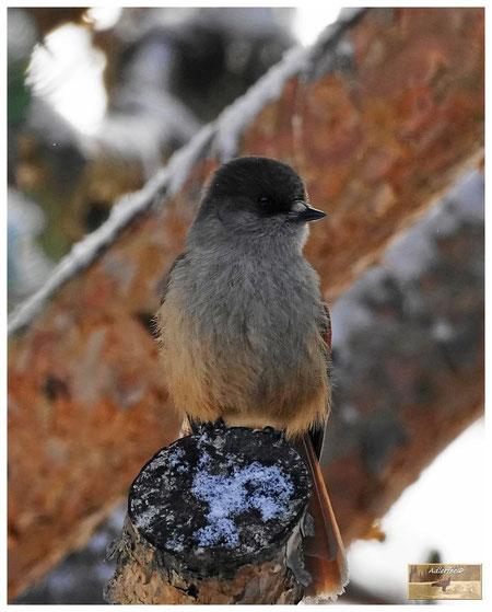 menschundnatur-unserezukunft, vögel, unglückshäher, vogelschutz