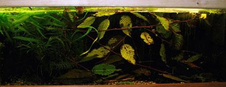 Aquarium für Liniendornwelse.