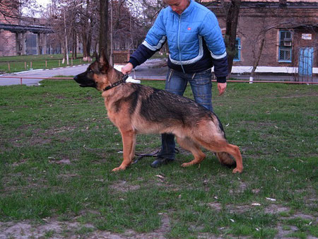 Кронос Нико-Тьюб(Emilio vom Santamar-Ями Украиниан Ланд),11 мес,22.04.11.
