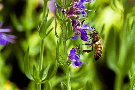 Biene an Ysop Bienenretter