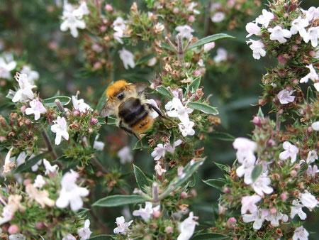 Hummel am Bohnenkraut Bienenretter