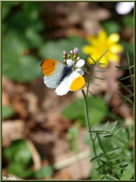 Papillon Aurore sur Cardamine des Prés