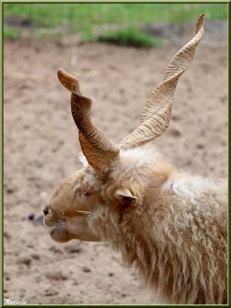 Mouton Racka, Parc de la Coccinelle, mini-ferme à Gujan-Mestras, Bassin d'Arcachon (33)