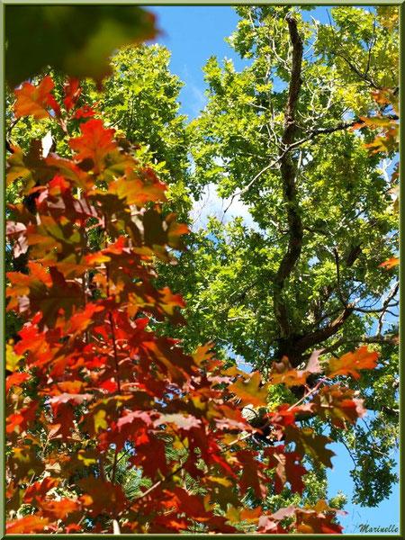 Chênes en début d'automne en forêt sur le Bassin d'Arcachon (33)