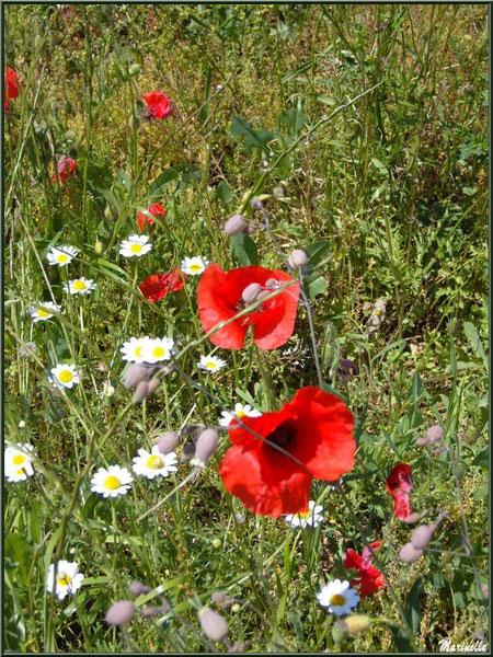Champ de Coquelicots et de Marguerites Communes en bord de route, flore Bassin d'Arcachon (33)