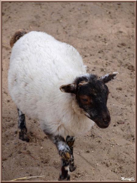 Mouton tête noire, Parc de la Coccinelle, mini-ferme à Gujan-Mestras, Bassin d'Arcachon (33)