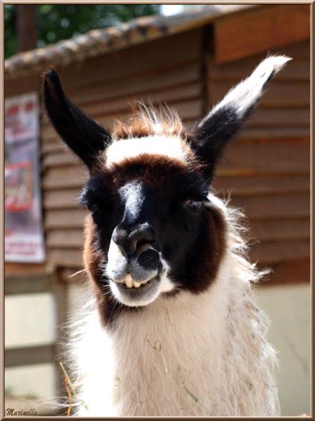 """""""Serge"""" le Lama, tout sourire ! Parc de la Coccinelle, mini-ferme à Gujan-Mestras, Bassin d'Arcachon (33)"""