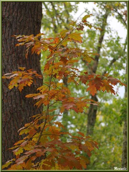 Petit Chêne d'Amérique automnal devant un tronc de pin, forêt sur le Bassin d'Arcachon (33)