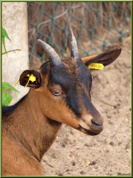 Chèvre marron et noire, Parc de la Coccinelle, mini-ferme à Gujan-Mestras, Bassin d'Arcachon (33)