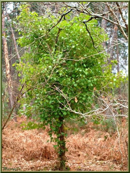 """Arbre """"lierre"""", forêt sur le Bassin d'Arcachon (33)"""