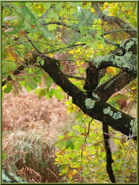 Méli mélo forestier : chêne et fougères en tenue d'automne, forêt sur le Bassin d'Arcachon (33)