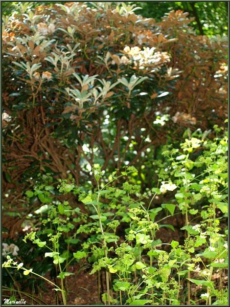 Le sentier de la Vallée du Bas : Magnolia et Euphorbes - Les Jardins du Kerdalo à Trédarzec, Côtes d'Armor (22)